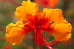 DSC_2489 (georgerocheleau) Tags: flower macro shrub prideofbarbados dwarfpoinciana caesalpiniapulcherrima mexicanbirdofparadise