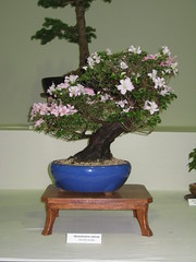 Azalea (Bonsaigirl) Tags: scotland display gardening bonsai caledonian 2013