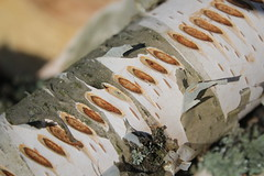 IMG_0781 (ADesign13) Tags: wood autumn pattern bark firewood ved polttopuuta