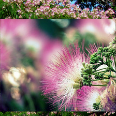 2013-06-15 (Chickens in the Trees (vns2009)) Tags: pink flowers white nature floral botanical diptych sweet fragrant mimosa silktree albiziajulibrissin