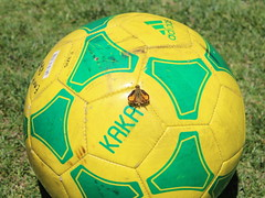 Butterfly on a Soccer Ball (fordsbasement) Tags: fauna butterfly soccer
