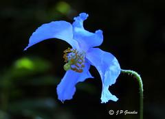 REFORD GARDENS   |      EMBLEM  |   |     BLUE POPPY   |  PAVOT BLEU          |     REFORD GARDENS  |      LES JARDINS DE METIS  |  METIS   |  GASPESIE  |  QUEBEC  |  CANADA (J.P. Gosselin) Tags: reford gardens | emblem blue poppy pavot bleu les jardins de metis gaspesie quebec canada ph:camera=canon canoneosrebelt2i canoneos7d canon7dmarkii canon 7dmarkii 7d markii mark ii canon7d eos7d canoneos eos rebel t2i