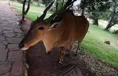 DPP_0074 (tim.z) Tags: kenya wildlife safari eland masaimara saruni