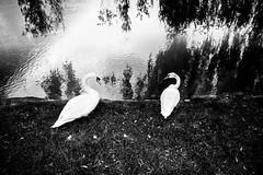 . (tsakalidis konstantinos) Tags: bw white black river swan swans slovenia maribor