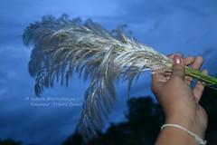 ♥ শরতের কোনও এক সন্ধ্যায় আমি ও কাশ ফুল ♥ (Sanhita Bhattacharjee/সংহিতা ভট্) Tags: autumn india nikon getty kash gettyimage tripura phool kashphool nikkor1835mmlens কাশফুল nikond3100 শারদীয়া শরৎ sanhitabhattacharjee beautifultripura kanchgrass