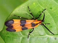 Tigar Moth - Correbidia terminalis - family Arctiidae (Dis da fi we) Tags: moth tigarmoth correbidiaterminalis correbidia terminalis arctiidae puntagorda toledo belize hickateebelize hickateepuntagorda jungle rainforest forest wildlife culture cottages hickatee