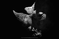Ceratotherium Simum |  (francisling) Tags: portrait white black animal zoo asia wildlife taiwan east national fujifilm taipei  lm fujinon rhinoceros    xf ois 55200mm xm1 simum ceratotherium    xtrans