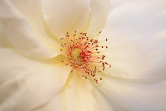 Rose (49) (arfi_arfi) Tags: flowers roses portrait plants plant flower macro art love nature beauty rose garden flora affection artistic blossom artisticphotography flowerart flowerscolors amazingdetails