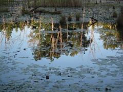 IMG_0719 (Dan Correia) Tags: amherst swamp reflection 15fav topv111 510fav topv333 topv555