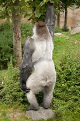 2013-10-05-09h36m11.272P4187 (A.J. Haverkamp) Tags: zoo rotterdam blijdorp gorilla dierentuin diergaardeblijdorp westelijkelaaglandgorilla bokito httpwwwdiergaardeblijdorpnl canonef100400mmf4556lisusmlens dob14031996 pobberlingermany