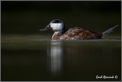 Ruddy Duck (Earl Reinink) Tags: ontario nature duck nikon flickr earl waterfowl canda ruddyduck nikond4 earlreinink reinink 201309250804
