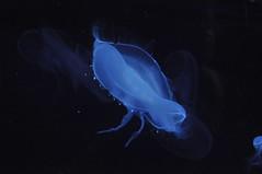 Méduse  (11) (hube.marc) Tags: jellyfish medusa manet tá qualle kwal marmoka meduus クラゲ meduza 水母 해파리 دریایی denizanası عروس uburubur медуза μέδουσα medúza медузи медузы marglyttur medúzák medusozoa stormaneter জেলিফিশ slefrenfôr smugairleróin hvalspýggjur մեդուզա 白蚱