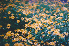 (Rob Aparicio) Tags: old flowers blur flores flower film daisies analog analgica flickr bokeh olympus desenfoque margaritas yellowflowers analogic analgico olympusom20 tumblr robaparicio robertoaparicio robaparicioflickr flickrtotumblr