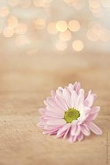 Daisy (BronwynKatzke) Tags: wood pink stilllife flower floral lights counter bokeh board daisy shallowdof