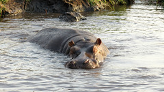 Chobe River hippo (Linda DV) Tags: africa travel nature canon river geotagged nationalpark hippo hippopotamus botswana chobe zambezi cuando vulnerable southernafrica hippopotamusamphibius 2013 hippopotamidae kwando geomapped iucnredlist lindadevolder powershotsx40