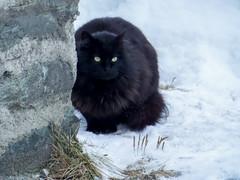 Contrasti animaleschi (DeclivePapillon) Tags: cat neve gatto vacanze valledaosta cogne