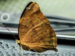 Butterfly on Board (hastuwi) Tags: butterfly insect geotagged butterflies today recent intelinside kupukupu babyonboard butterflyonboard