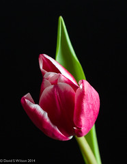 Tri-Colour (David S Wilson) Tags: flowers flower nikon 2014 flowersplants nikon1 davidswilson micronikkor40mmf28lens
