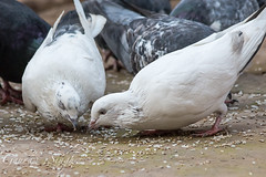 Pecking Pigeons (gauravs82) Tags: white bird pigeon beak feathers domesticated