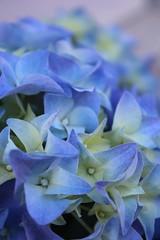 pastels (ailie*) Tags: flowers blue blur macro yellow closeup petals focus colours dof purple pastel ailie