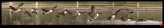 Kiss landing.... se traduisant en franais par atterrissage bisou (mamnic47 - Over 6 millions views.Thks!) Tags: paris vol oiseaux 9images montagephotoshop paris16me oiebernacheducanada maresaintjames lacsaintjames img5619montage montagemanuel