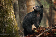 American Black Bear (www.matthansenphotography.com) Tags: bear trees sunlight nature animal forest mammal woods looking wildlife trunk predator blackbear omnivore americanblackbear matthansen matthansenphotography