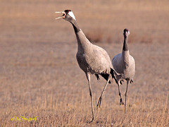 Grulla común (Grus grus) (eb3alfmiguel) Tags: aves común grullas