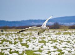 outstanding2 (SusanCK) Tags: geese snowgeese skagitvalleywashington susancksphoto