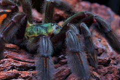 Psalmopoeus irminia sub-adult female, 5-inch (_papilio) Tags: macro canon spider arachnid tarantula nikkor papilio arthropod 6d theraphosidae mpe65mmmacro invertbreate