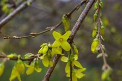 Un temps printanier (Seix/Arige) (PierreG_09) Tags: fleur flor forsythia printemps flore pyrnes pirineos arige seix