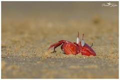 Nature's own cartoon character! (Poorna Kedar) Tags: red sea wild macro beach nature water island bay eyes sand wildlife cartoon crab bengal