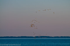 TheSound2014(NY) (bigbuddy1988) Tags: blue sky ny newyork nature water birds outdoors photography nikon wildlife ducks longisland environment waterfowl d300 nikond300