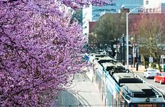 Trimet Max & Cherry Blossoms 2 of 2 (Orbmiser) Tags: road pink max tree oregon portland spring nikon blossoms transportation lightrail trimet 28105mm d90 afd f3545 nikon28105mmf3545afd