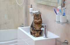 Why Are You Watching Me? Turn The Tap On..... (aceanorak1) Tags: water beauty animal cat feline sink killer charming harviewoodbridge