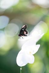 Butterflies are Blooming (2014) (MichellePhotos2) Tags: white orchid flower macro green butterfly garden spring flora nikon michigan butterflies frederikmeijergardens tropical grandrapids fmg swallowtail westmichigan 150mm butterfliesareblooming frederikmeijergardensandsculpturepark d800e nikond800e butterfliesareblooming2014