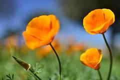 California Poppy (stevenpng) Tags: texas goldenpoppy eschscholziacalifornica wildseedfarm cupofgold nikond800 nikkor35mmf14g fredericksbuurg photographyadventuregroup