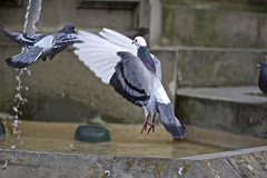 fly (ethra) Tags: fountain canon germany eos fly pigeons 60d