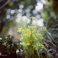 Little Tree Garden (zounds.garden) Tags: bronica bronicas2 fujipro160s zenzabronicas2