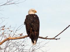 P1110514 (lbj.birds) Tags: bird nature eagle wildlife baldeagle kansas flinthills