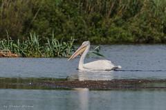 Birds in the Danube Delta (Cost3l) Tags: water birds river delta romania apa danube pasari dunarea danubedelta dunarii