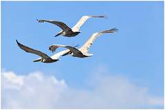 Pelican (SergeK ) Tags: brown fish bird beach water beautiful coast fly costarica pelican shore plage oiseau brun largest brownpelicans pastime pélican aquatique plungedive iformations