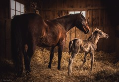 mare and foal (Jen MacNeill) Tags: light horses horse baby animals mare mother stall stable equine foal kentuckymountainsaddle