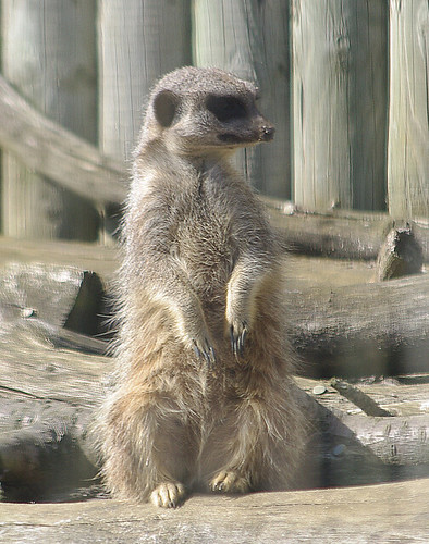 D10013.  A Meerkat at Africa Alive.