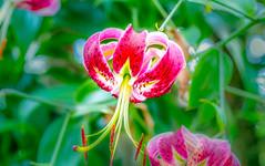 Rubrum Lily (12bluros) Tags: pink flores flower macro floral flora lily maroon ngc lilies npc hanging 1001nights lilium rubrum thegardenconservancy excellentsflowers mimamorflowers canonef100mmf28lmacroisusm 1001nightsmagiccity japaneseshowlily
