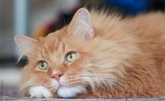 Amadeus Ponders (salar hassani) Tags: leica cat ginger maine coon m8 amadeus ponders