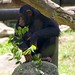 """Chimpansee • <a style=""""font-size:0.8em;"""" href=""""http://www.flickr.com/photos/128593753@N06/16349291258/"""" target=""""_blank"""">View on Flickr</a>"""