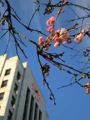February sakura at City Hall (Ruth and Dave) Tags: pink flower building tree clock weather vancouver cherry early spring blossom cityhall sakura february mild
