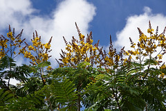 Peltophorum pterocarpum (Tatters ✾) Tags: flowers australia queensland springfield fabaceae yellowflowers peltophorum copperpod arfp peltophorumpterocarpum yellowflametree openforest ntrfp arfflowers yellowarfflowers monsoonarfp