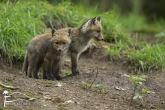 En double (Les Frres des Bois) Tags: red cub terrier fox foret carnivore redfox vulpesvulpes renardeau renard vulpes renardroux
