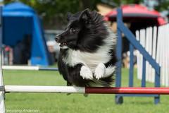 FAN_5985.jpg (Flemming Andersen) Tags: animal denmark outdoor hund agility dk dogsport hundesport sabro centraldenmarkregion dchharlev